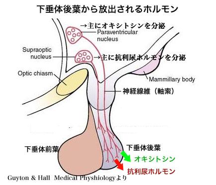 オキシトシン分泌図